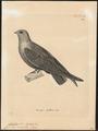 Chaetura senex - 1700-1880 - Print - Iconographia Zoologica - Special Collections University of Amsterdam - UBA01 IZ16700129.tif