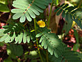 Chamaecrista nictitans - Sensitive Partridge Pea.jpg