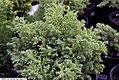 Chamaecyparis pisifera Cannon Ball 1zz.jpg