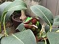 Chameleon at the Cleveland Botanical Garden.jpg