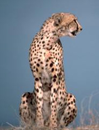 Roger Williams Park Zoo - Image: Cheetah