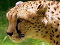 Cheetah Guepard (1223948937).jpg