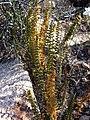 Cheilanthes bonariensis (Willd.) Proctor (33287480384).jpg