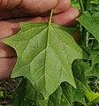 Chenopodium hybridum leaf (3).jpg