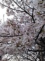 Cherry Blossoms near Library in Huangzhou District, Huanggang, Hubei 3.JPG