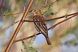 Chestnut weaver (Ploceus rubiginosus) female.jpg