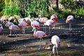 Chilean flamingo 0171.JPG