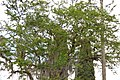 Chiminango (Pithecellobium dulce) (14409998441).jpg