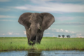 Chobe elephant feeding.png