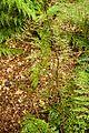 Christchurch Botanic Gardens, New Zealand section, totara 2016-02-04-2.jpg