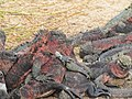 Christmas Iguanas - Marine Iguanas - Espanola - Hood - Galapagos Islands - Ecuador (4870809589).jpg