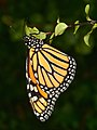 Chrysalis to Butterfly (-5 of 5) (6879979370).jpg