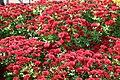 Chrysanthemum Raquel 7zz.jpg