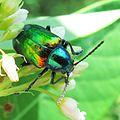Chrysochus auratus - Dogbane Beetle (6881287554).jpg