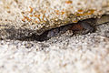 Chuckwalla (Sauromalus ater) wedged in a rock crevice (16557301526).jpg