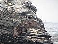 Chungungos, Reserva nacional Pingüino de Humboldt.jpg