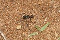 Cicindelidae 8986.jpg