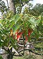 Cinnamomum camphora1.jpg