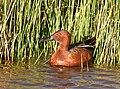 Cinnamon teal at Seedskadee National Wildlife Refuge (42026648441).jpg