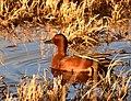 Cinnamon teal on Seedskadee National Wildlife Refuge (40153176990).jpg