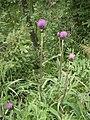 Cirsium heterophyllum RHu 01.JPG
