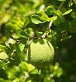 Citriobatus fruit.jpg
