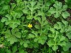 Citrullus colocynthis 001.JPG