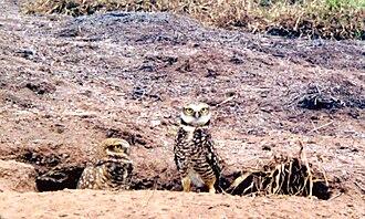 Clarion Island - Clarión burrowing owl, February 1997