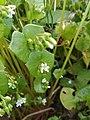 Claytonia perfoliata 130106128.jpg