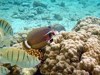 Wrasse - Image: Cleaning station