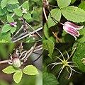Clematis japonica (Montage s4).jpg