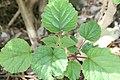 Clerodendrum speciosissimum 13zz.jpg