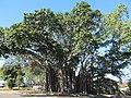 Cleveland East oldest banyan tree 2.jpg