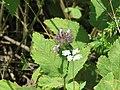 Clinopodium vulgare 22.jpg