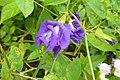 Clitoria ternatea 'Double Blue' in Thailand 2013 1429.jpg