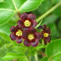 Close-up of Jatropha gossypiifolia (4437643316).jpg
