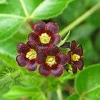 Close-up of Jatropha gossypiifolia (4437643316).jpg