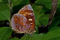 Close wing position of Flos adriana de Nicéville, 1883 – Variegated Plushblue WLB DSC 00 36.jpg