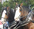 Clydesdale heads.jpg
