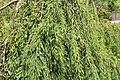 Coastal Georgia Botanical Gardens, Weeping Baldcypress Taxodium distichum 'Fallingwater'.jpg
