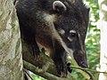 Coatì en el parque nacional de iguazu.jpg
