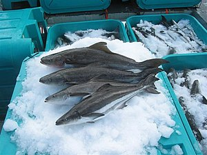 Cobia - Cobia on ice at Open Blue Sea Farms