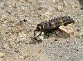 Coccinellidae larva 20090415.jpg