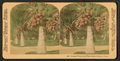 Cocoanut (coconut) trees in the white sands of Florida, U.S.A, from Robert N. Dennis collection of stereoscopic views 13.png