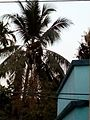 Coconut trees at twilight.jpg