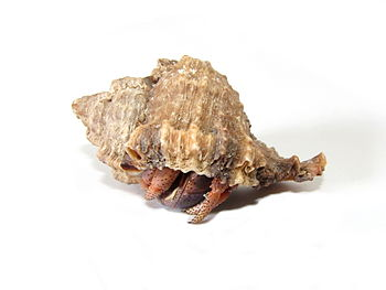English: Caribbean hermit crab (Coenobita clyp...
