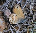 Coenonympha dorus (Dusky heath) - Flickr - S. Rae.jpg