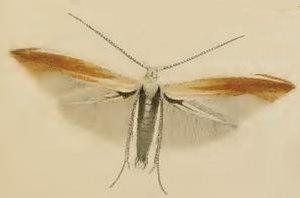 Coleophora colutella - Image: Coleophora serenella