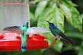 Colibri thalassinus-5.jpg