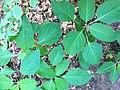 Collinsonia canadensis SCA-0597.jpg